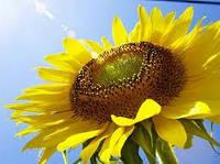 Купить Семена подсолнечника ЛГ 5452