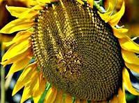 Купить Семена подсолнечника ЛГ 5542