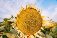 Купить Семена подсолнечника ЛГ 5478