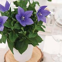 Платикодон Astra Blue (саженцы)