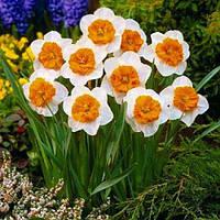 Нарцисс Bella Vista (луковицы) , купить