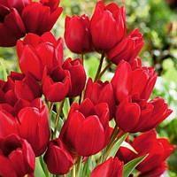 Тюльпан Red Georgette , купить