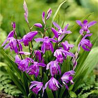 Блетилла Purple (саженцы) , купить