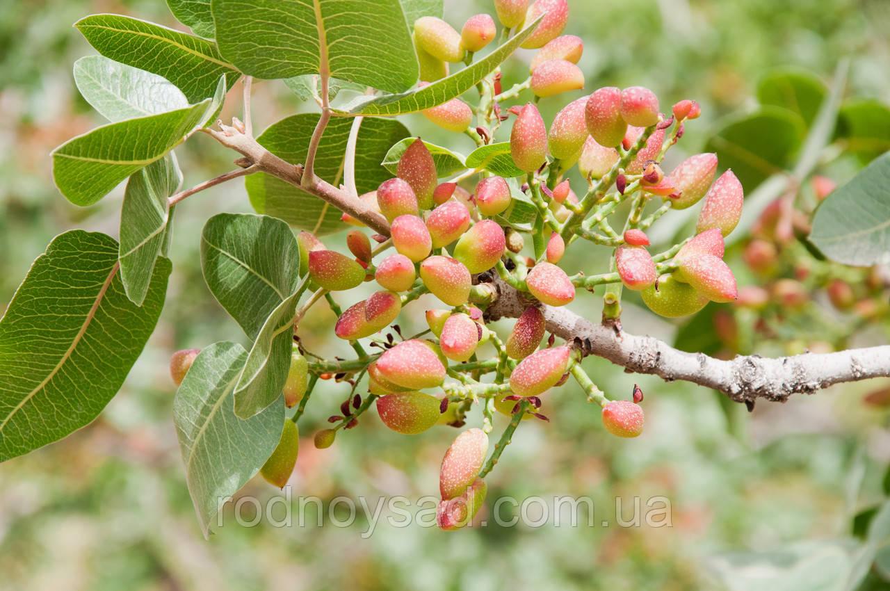 Семена фисташки как способ размножения растения