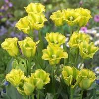 Тюльпан Green Jay (луковицы) , купить