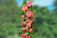 Колоновидный персик ИНЖЫРНЫЙ , купить