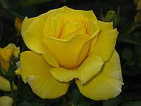 Роза  Ландора. Чайно-гибридная роза.