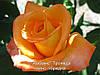 Роза «Амбианс». Чайно-гибридная роза.()