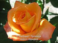 Роза Амбианс. Чайно-гибридная роза