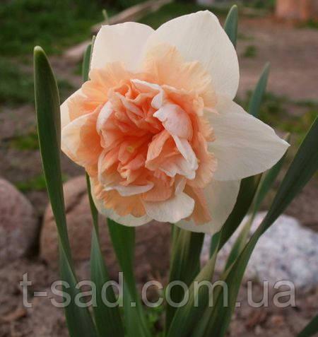 Нарцис Махровий Flower Surprise 12/14 новинка