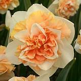 Нарцис Махровий Flower Surprise 12/14 новинка, фото 2