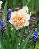Нарцис Махровий Flower Surprise 12/14 новинка, фото 3