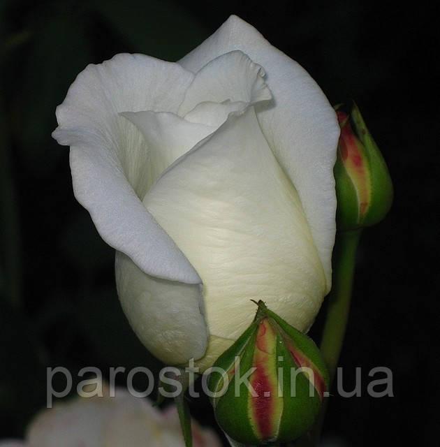 Роза Вирджиния. Чайно-гибридная роза.