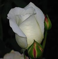 Роза Вирджиния. (в). Чайно-гибридная роза.