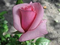 Розовая роза «Карина». Чайно-гибридная роза. ()