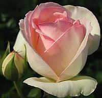 Плетистая роза Пьер де Рондсард (вв).
