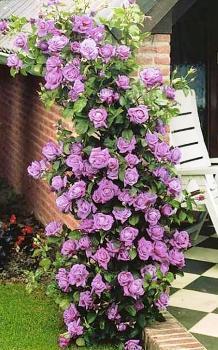 Роза плетистая Индиголетта. Корнесобственная в контейнерах.