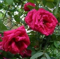 Роза плетистая Ред парфум. Корнесобственная в контейнерах.