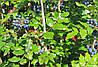 Магония падуболистная 'Aquifolium' в 7-литровом контейнере