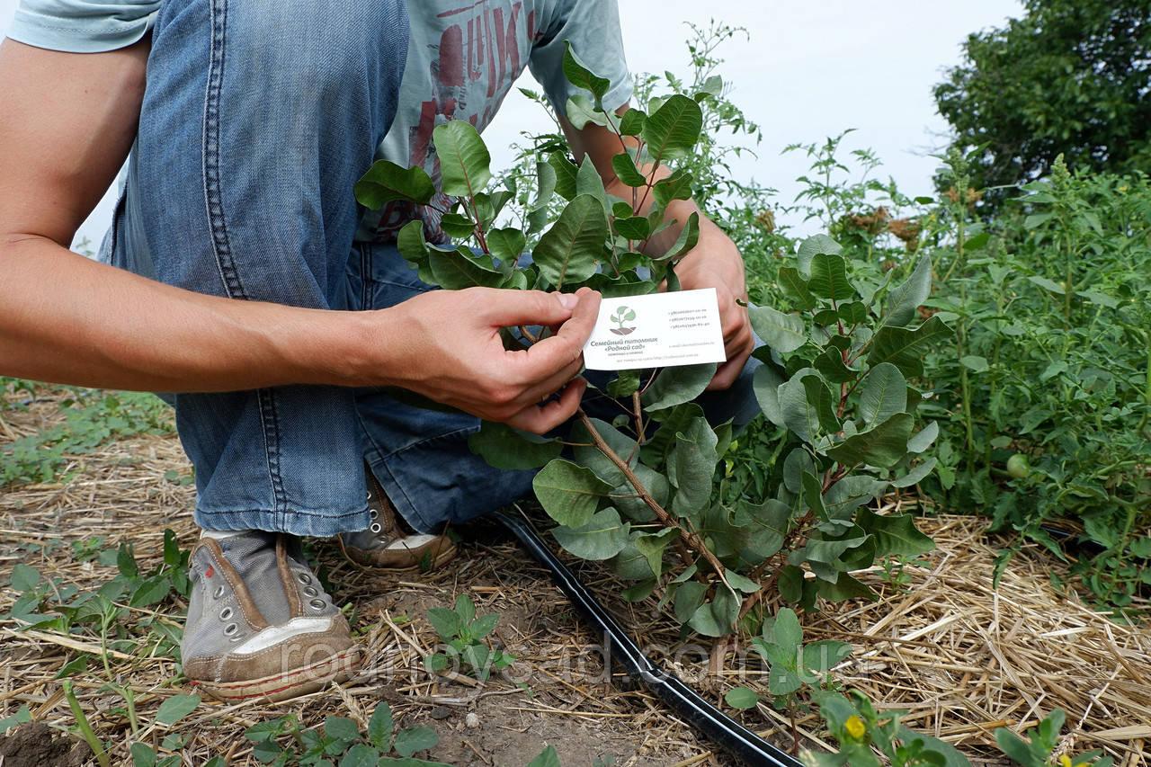 Где растут фисташки, особенности выращивания в Украине