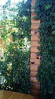 Плющ остролистный, узколистный Sagittaefolia декоративный уличный (контейнер), фото 1