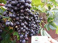"""Виноград """"Молдова"""" саженцы технический винный сорт для производства домашнего вина (саджанці), фото 1"""
