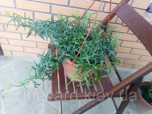 зеленая изгородь, ажурное растение, клуб, плющ, английский, европейский, польский, озеленение, ландшафтный дизайн, вечнозеленые, зимует, веранда, клумба, камни, красивый забор, стена.