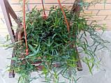 Плющ остролистный, узколистный Sagittaefolia декоративный уличный (контейнер), фото 2