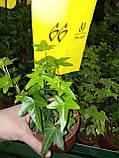 Плющ остролистный, узколистный Sagittaefolia декоративный уличный (контейнер), фото 5