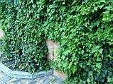 Плющ остролистный, узколистный Sagittaefolia декоративный уличный (контейнер), фото 6