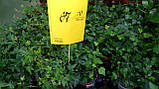 Плющ остролистный, узколистный Sagittaefolia декоративный уличный (контейнер), фото 7