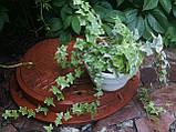Плющ остролистный, узколистный Sagittaefolia декоративный уличный (контейнер), фото 8