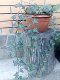Плющ остролистный, узколистный Sagittaefolia декоративный уличный (контейнер), фото 9
