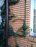 Плющ остролистный, узколистный Sagittaefolia декоративный уличный (контейнер), фото 10