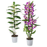 ORCHIDACEAE Комнатное растение