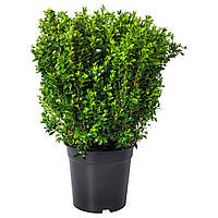 BUXUS SEMPERVIRENS Комнатное растение