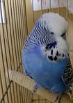 Навчання та дресирування папуги