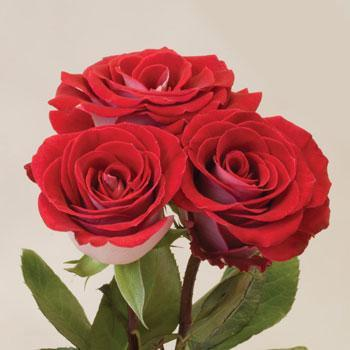 Саженцы чайно-гибридных роз Латин Леди