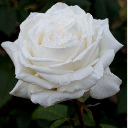 Саженцы роз Ломоносов