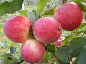 Саженцы яблони Старкримсон