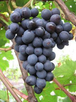 Саженцы винограда Осенний черный