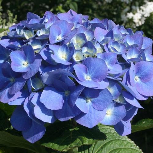 Гортензии Blue Heaven