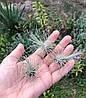 Тилландсия атмосферная Фукси (Tillandsia Fuchsii), фото 3