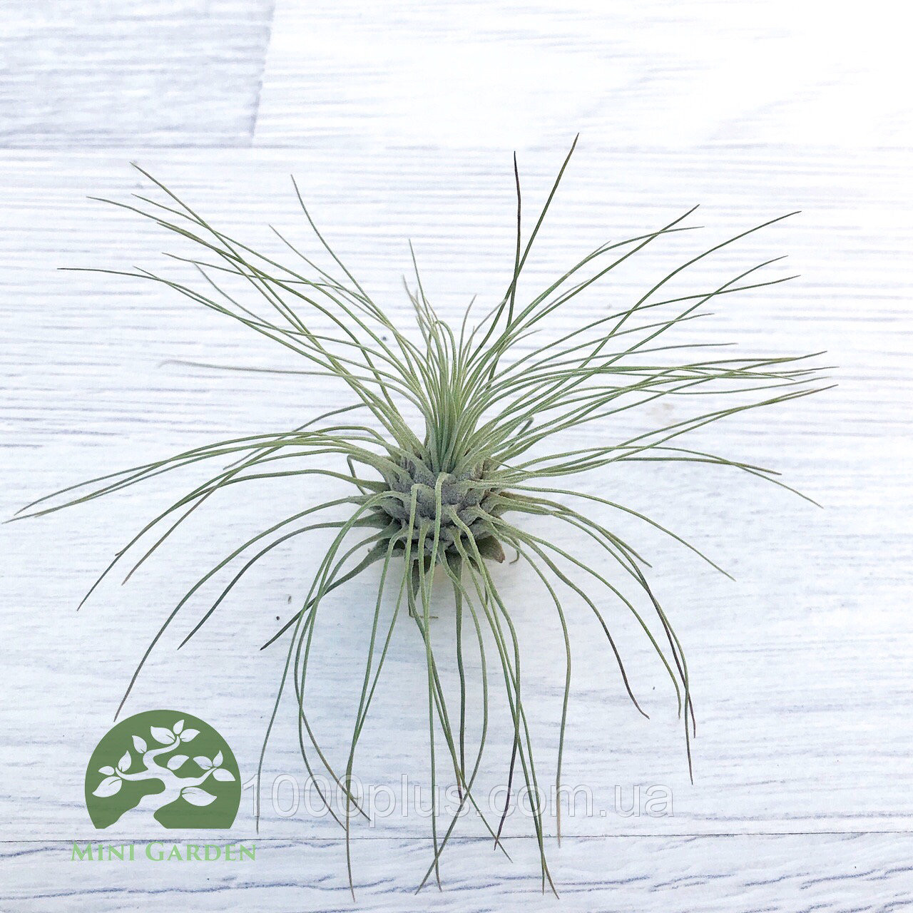 Тилландсия атмосферная Фукси (Tillandsia Fuchsii)