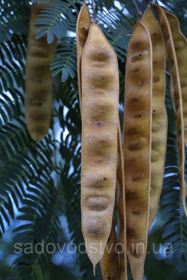 семена ленкаранской акации