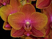 """УЦЕНКА! Подростки орхидеи. Сорт Love Waltz, размер 1.7"""" без цветов"""