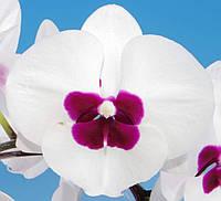 "Уценка плохие корни Подростки орхидеи. Сорт 82323, размер 1.7"" без цветов, фото 1"