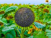 Семена подсолнечника Pioneer PR64F66
