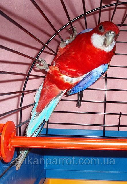 Розелла-Рубиновая Красная. (Rosela Pestra-opalinova)