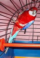 Розелла-Рубиновая Красная. (Rosela Pestra-opalinova), фото 1